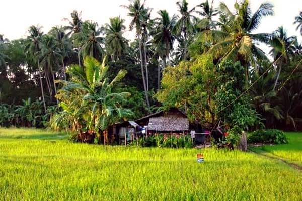 "alt=""Small nipa hut house in the rice field"""